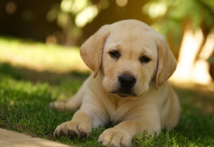 Golden Retievier Pies Idealny Dla Dziecka I Domu